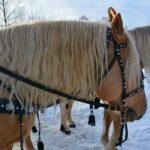 Лошадь соловая лошадь желтая лошадь с белой гривой портрет лошади по фото
