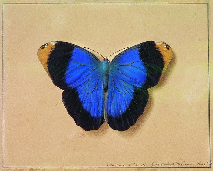 Художник Федор Толстой. Бабочка натюрморты с цветами ягодами цветы бабочка и птичка